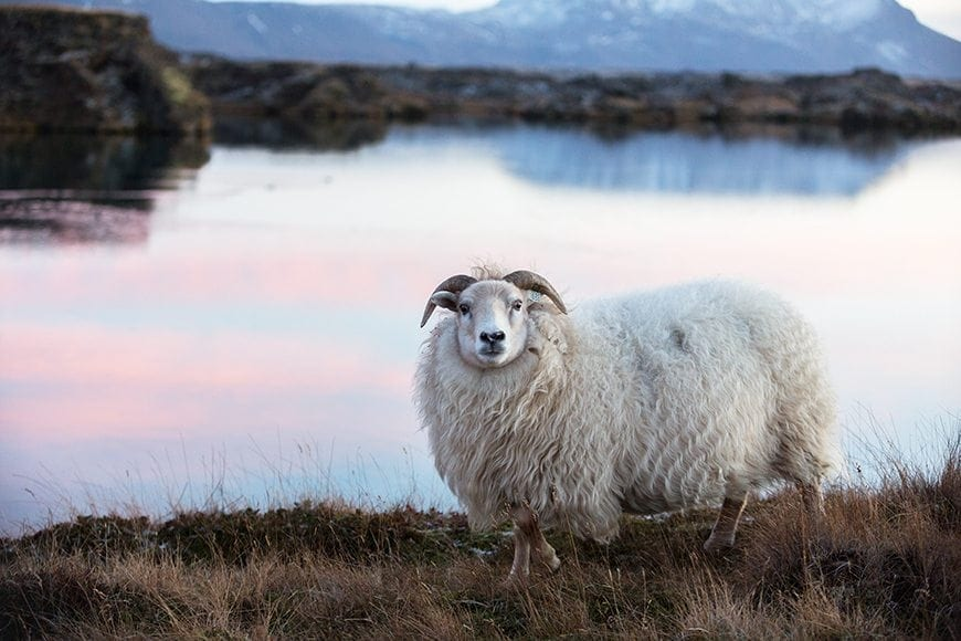 Cheap-and-Inexpensive-Things-to-do-in-Iceland-Icelandic-Lambs