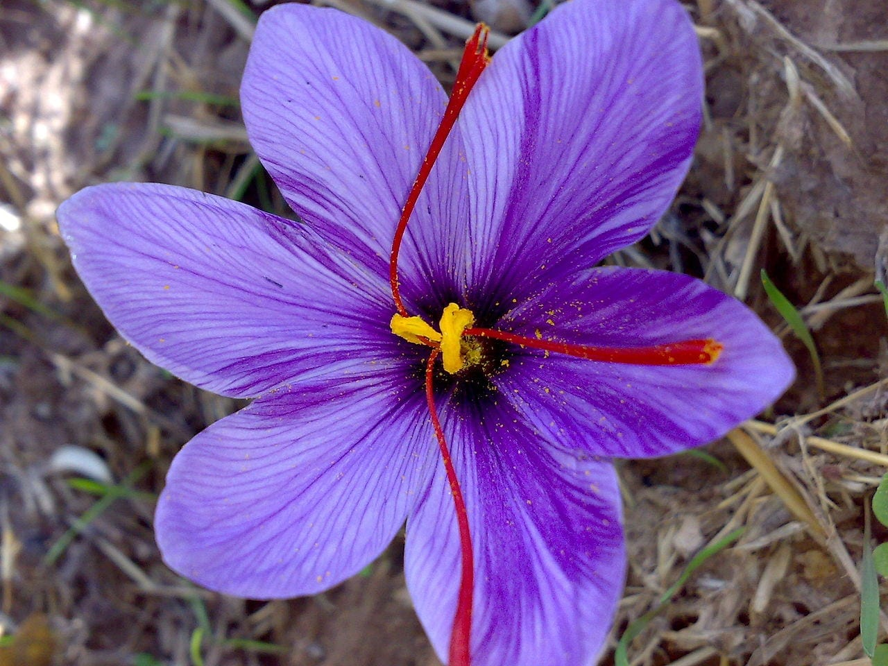 THE ULTIMATE GUIDE TO DRINKING SAFFRON FOR BEAUTY AND THE TOP 10 BENEFITS OF DRINKING SAFFRON WATER