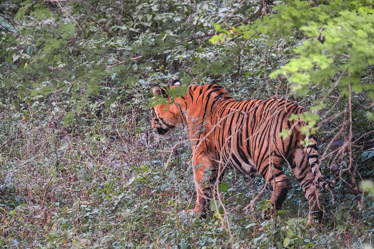 10 places to see wildlife India tiger