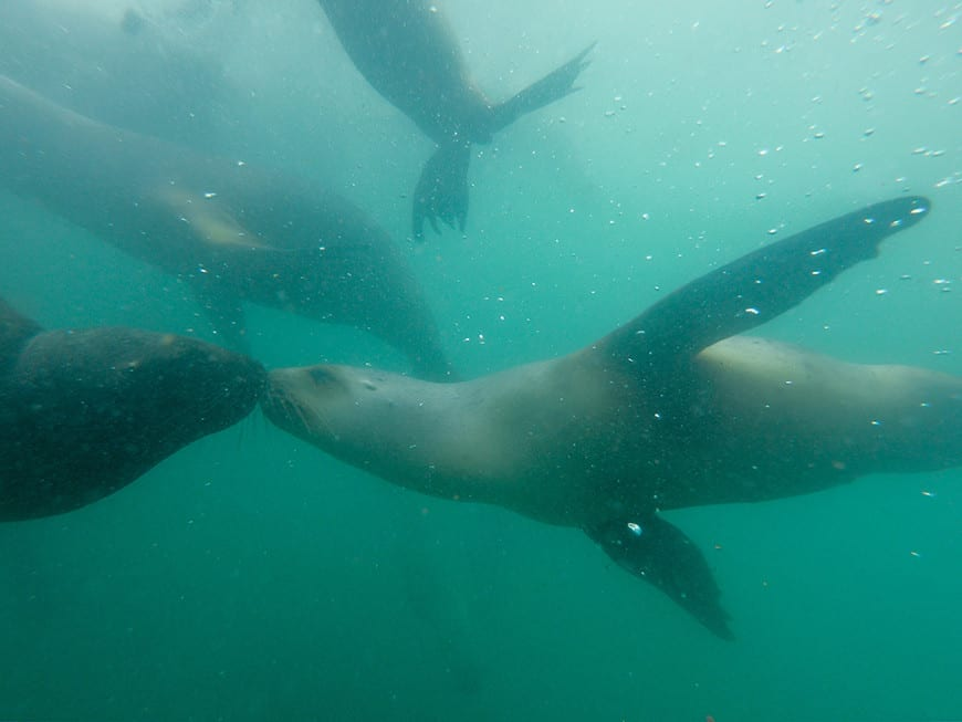 swimming with sea lions in peru 2