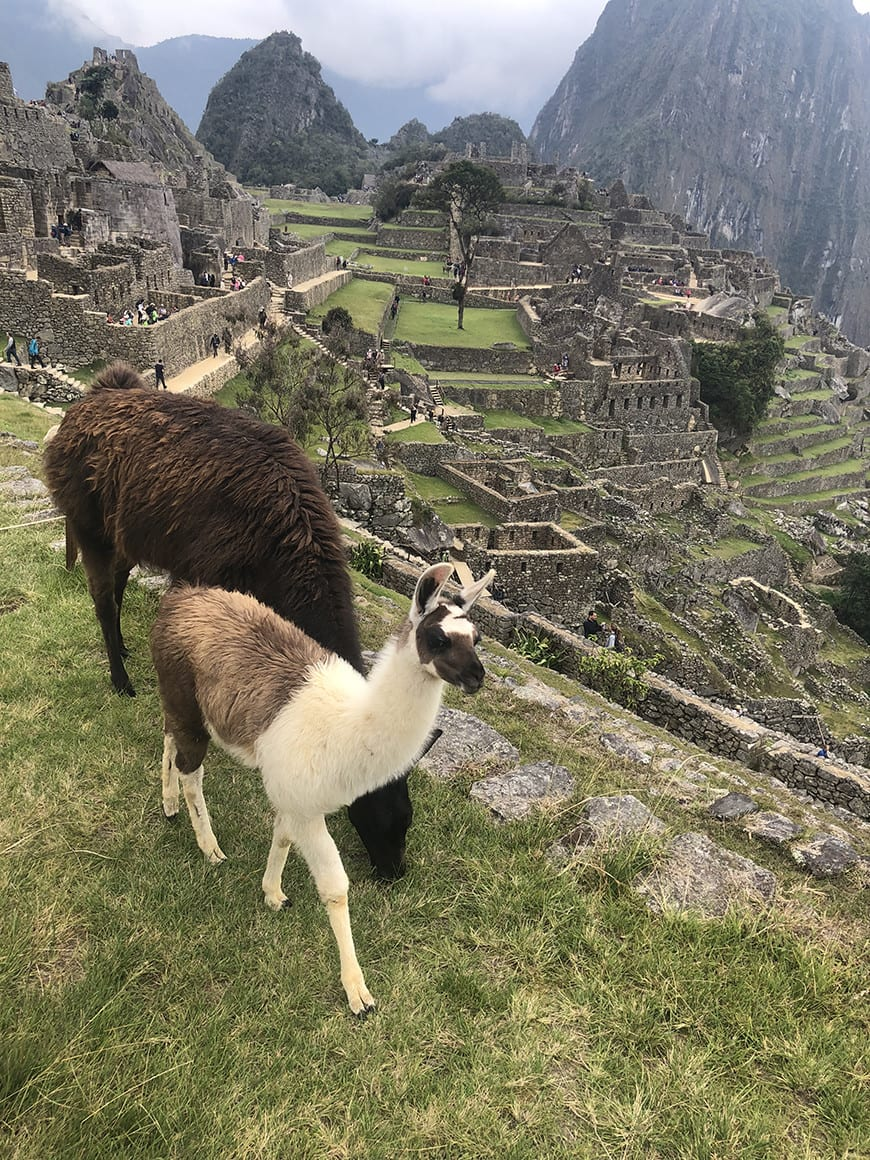 Planning a trip to machu picchu- 2 days 1 night tour from Cusco llamas
